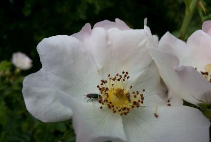 Most nyílik a Göcseji Falumúzeum virága!
